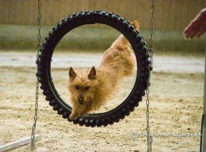 Australian Terrier Hades vom Schloss Mordor