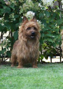 Australian Terrier Huovispäivän Huimo Huvitus