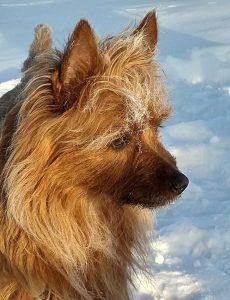Australian Terrier Juliette vom Schloß Mordor
