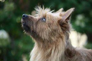 Australian Terrier Juliette vom Schloß Mordor (3)