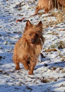 Australian Terrier Nyx vom Schloß Mordor 1