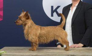Australian Terrier Tasmanian Dreams Be My Star