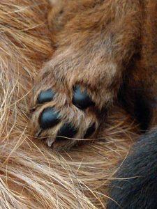 Australian Terrier pup vom Schloß Mordor
