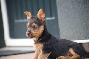Australian Terrier puppy vom Schloß Mordor (1) (1) Nadelen van vroege castratie bij honden.