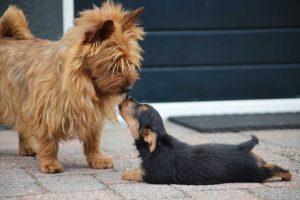 Australian Terrier puppy vom Schloß Mordor (2)