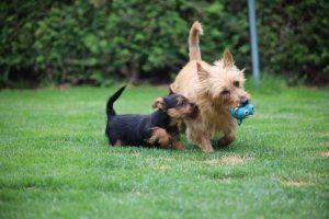 Australian Terrier puppy vom Schloß Mordor (3)