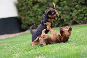 Australian Terrier pups