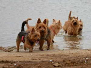 Australian Terrier vom Schloß Mordor (1)