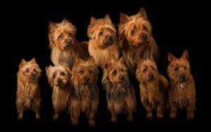 Australian Terrier vom Schloß Mordor Anita te Grotenhuis-Rougoor