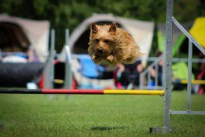 Australian Terrier vom Schloß Mordor Hades (2)