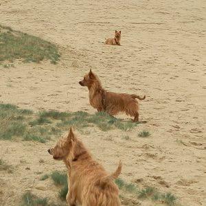 Australische-terrier-vom-Schloss-Mordor-Rozendaalseveld
