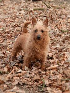 Australian Terrier vom Schloß Mordor, Shira
