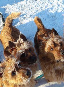 Australian Terrier vom Schloß Mordor winter 2 2020