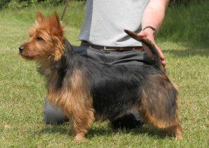 Australian terrier Annabel-vom-Schloss-Mordor