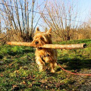 Australian terrier, Lizzy vom Schloss Mordor