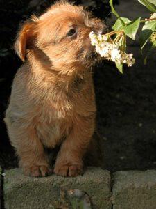 Australian terrier pup vom Schloß Mordor Anita te Grotenhuis-Rougoor Ulft