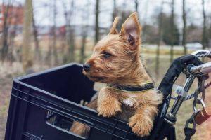 Australian terrier pup vom Schloß Mordor fiets