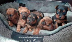 Australische Terriers vom Schloß Mordor (3)