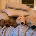 Australische-r terrier welpe pup vom schloss Mordor