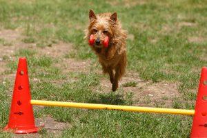 Australischer Terrier, Mon Cherie vom Schloß Mordor