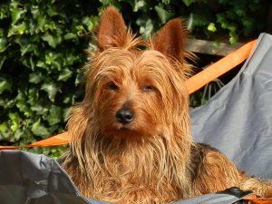 australian Terrier Finn