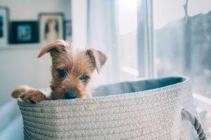 australian-terrier-pup vom Schloss Mordor