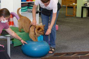 australische terrier, australian terrier, australischer terrier vom Schloß Mordor (5)